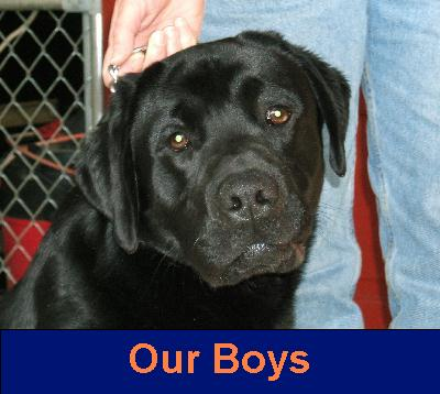 English Labrador Retriever For Sale In Ma | Dog Breeds Picture