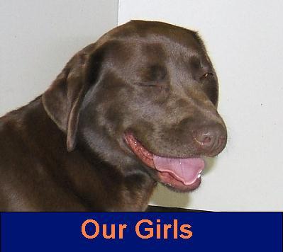 ... Labrador Retriever breeder of English style Labrador Retriever puppies