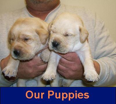 Labrador Retriever breeder of English style Labrador Retriever puppies ...